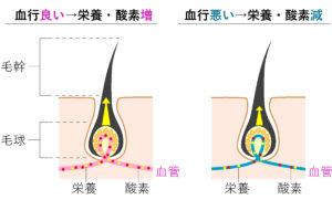 頭皮の血行と毛髪の関係